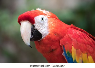 Close-up of a scarlet macaw (Ara macao). Cancun, Mexico.