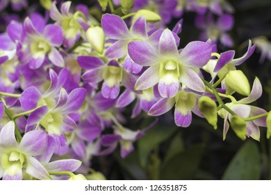 closeup of scenic blossom orchids from famous National Orchid Garden of Singapore; focus on central flower