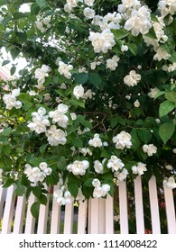 Closeup of a Schersmin, Philadelphus coronarius, with lovely white flowers richly blooming over a wooden fence in early summertime.