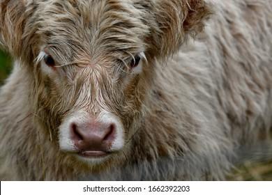 close-up of a scottish highlander calf