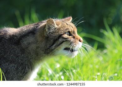 Close-up Scottish Wild Cat Looking Fierce