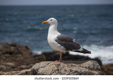 A closeup of a seagull at the monterey beach