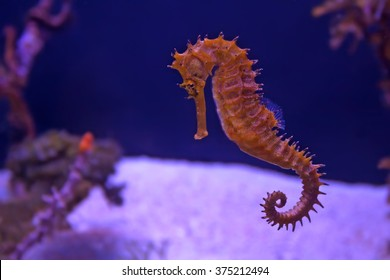 Closeup seahorse swimming in colorful coral reef