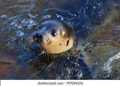 Close-up seal animal baby or sea lion head. Swimming Atlantic common seal animal (Phoca vitulina). Sea lion looking at camera. Cute seal animal baby face of sea lion in water. Intense look of sea lion