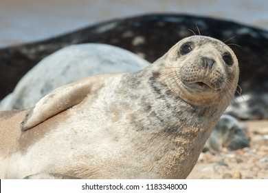 close-up of a seal pup with a happy expression basking on a stony beach