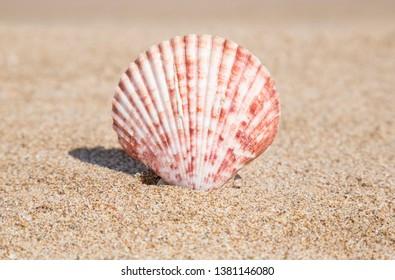 Closeup of a seashell on a sandy beach in summer