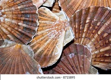 Closeup of a  seashells (sea shells), scallop