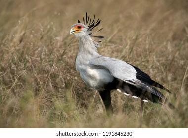 Closeup of Secretary bird, Masai Mara, Kenya