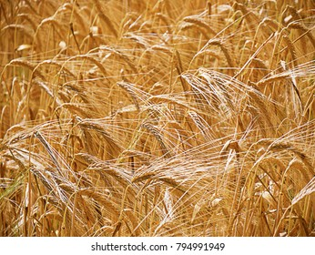 Closeup of a section of farmer's wheat crop.