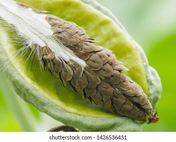 Close-up seed of Crown flower (Calotropis Gigantea) on branch with green nature blurred background, other names Giant Indian Milkweed, Giant Milkweed and Tembega.