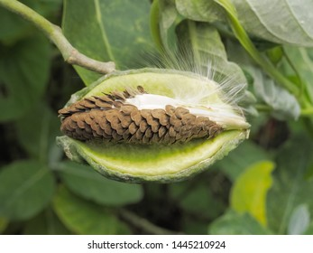 Close-up seed or fruit of Crown flower (Calotropis Gigantea) on branch with green nature blurred background, other names Giant Indian Milkweed, Giant Milkweed and Tembega.