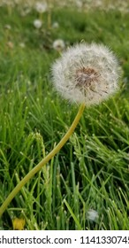 Closeup of the seed head of a dandelion on a long stem. Grassy field covered in flowers.