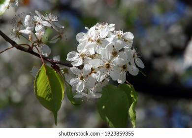 Close-up selective focus full frame view of a branch with white blossoms of an evergreen pear blossom tree