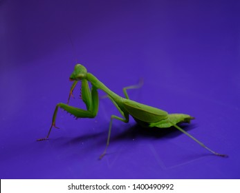 Closeup with selective focus in a green grasshopper Bug-Praying Mantis in a purple color background . Mantises insects does mimicry and are typical of temperate and tropical habitats.