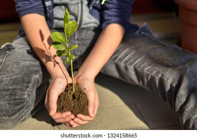 Close-up with selective focus on a lemon seedling. The hands of the caucasian child are potting a clod of earth with a seedling