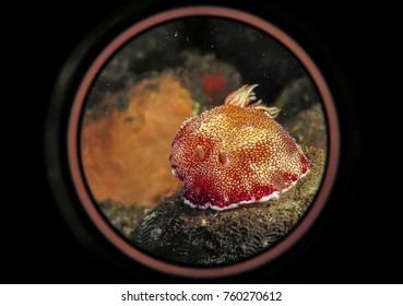 Close-up, selective focus on nudibranch. Underwater.