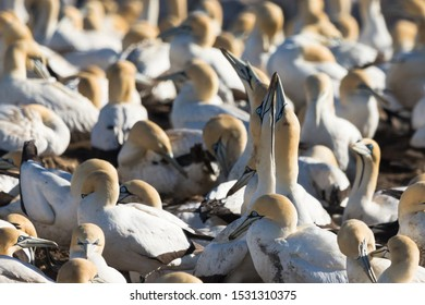 closeup and selective focus on a pair or two wild Cape Gannet (Morus capensis) birds in a mating ritual in a colony at Bird Island, Lamberts Bay, Western Cape,South Africa in nature, blurry background