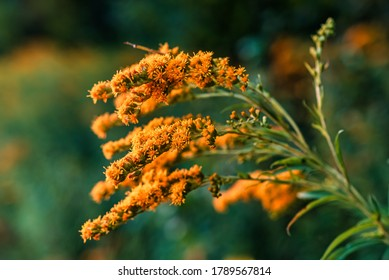Close-up Selective focus with shallow depth of field on Early Goldenrod (Soldiago Gigantea Aiton) with blurred green background