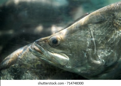 Closeup and Selective Focus Side View Head-shot of Barramundi (Lates calcarifer) or also known as Asia Sea Bass - Silver Perch - White Perch, Swims in Aquaria.