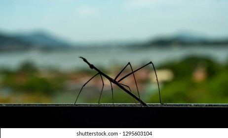 Closeup with selective focus of a silhouette of an insect, bicho-pau (proscopiidae cientific name), on the window. It does mimicry in the form of a twig and it is common insect in south america.