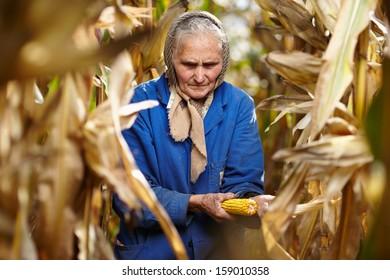 Closeup of senior woman farmer harvesting corn traditionally