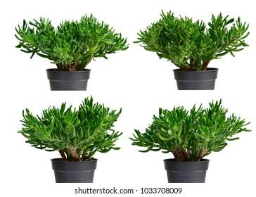 Closeup set of beautiful green Crassula ovata Gollum or Dollar money houseplant or Finger jade plant isolated on white background.