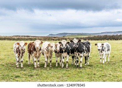 Close-up of seven Norman cows standing next to each other on a pasture with cliffs and the sea on the background in the Cotentin in the North-west part of France.