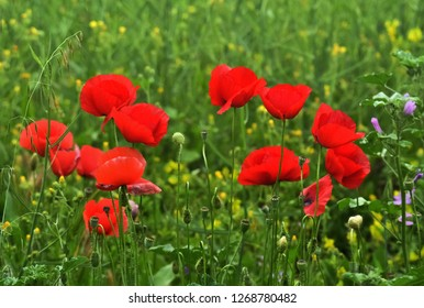 Closeup of several blossoms of red poppy surrounded with green grass