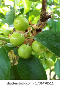 Close-up of several green, unripe cherries hanging on the branch of a cherry tree, surrounded by green leaves and other cherries in the background