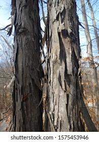 Closeup of the shaggy and platy bark of a Shagbark Hickory tree (Carya ovata).