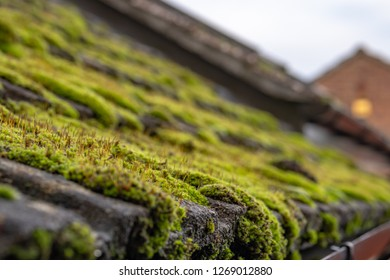 Close-up, shallow focus of a build up of damp moss seen covering a cottage roof during winter. An out of focus adjoining house can be seen in the distance. Taken prior to the moss being cleared.