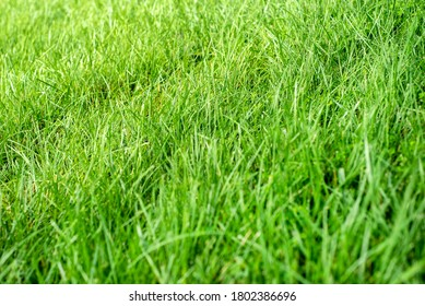 Closeup shallow focus green grass lawn in sunshine, healthy thick, tall grass blades, no weeds, fertilize, growing grass, long grass, cutting, seed, summertime, perfect lawn, caring, lawnmower, over
