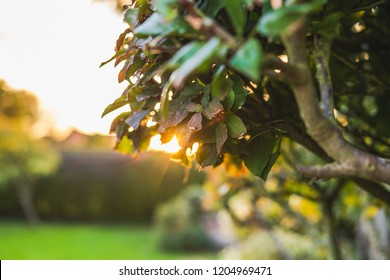 Close-up, shallow focus of a recently pruned privet hedge seen in a large private garden. The evening sun can be seen setting in the background, producing golden light through the hedge.