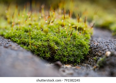 Close-up, shallow focus view of green moss seen growing on tiles, on a cottage roof. Taken after a heavy downpour, the water droplets can be seen on the young stems growing from the moss.