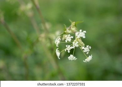 Close-up, shallow focus of wild white flowers in full bloom during late spring. Part of an abundance of wild flora in a large nature conservation area.