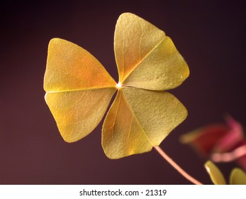 Closeup of a shamrock, dark background - good for St. Patrick's day.