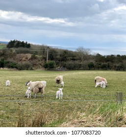 Close-up of sheep with lambs on pasture close to Dunure near Ayr in Ayrshire, Scotland.