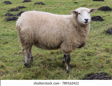 Closeup of Sheep on Mountain, Monmouthshire, Wales