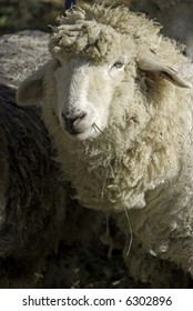 Close-up of a sheep's face, looking at the camera