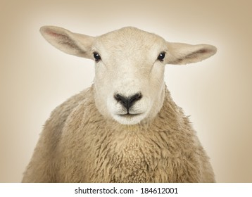 Close-up of a Sheep's head in front of a cream background