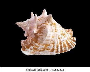 Close-up shell of sea mollusk Strombus gigas isolated on black background. Beautiful texture of conch cockleshell close up. A Queen conch (Lobatus gigas) from Caribbean sea