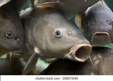 Close-up of a shoal of common carp, Cyprinidae Carpio