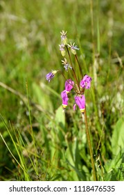 closeup of Shootingstar, Dodecatheon pulchellum in the meadow
