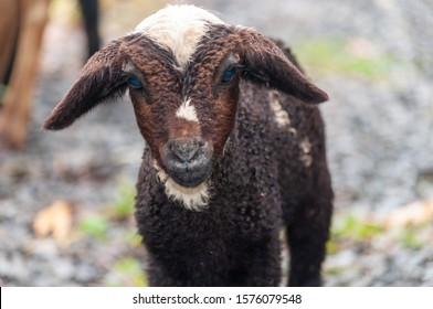 A closeup shot of an adorable fluffy baby goat with blue eyes on a blurred background