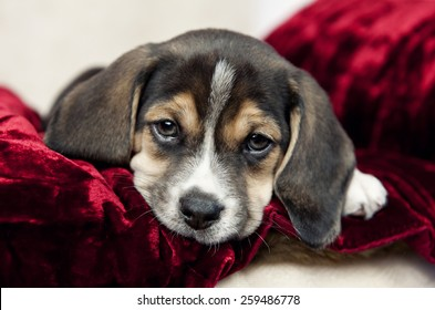 A closeup shot of an adorable little beagle puppy with focus on his face and copy-space