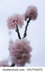Close-up shot of Anzu flowers blooming on branches against a cloudy sky,Chikuma City,Nagano Prefecture,japan