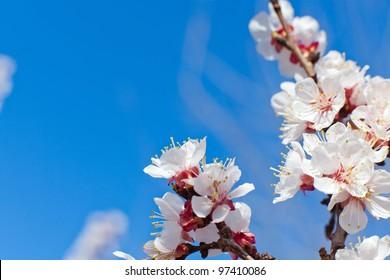 close-up shot of apricot blooming