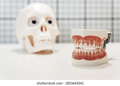 A closeup shot of artificial teeth in front of a plastic skull - concept of dentistry