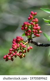 Close-up shot of Atlas pistachio (Pistacia Atlantica) nuts in the Aures mountains