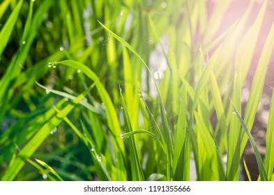 closeup shot background image of  green grass with dew in the morning